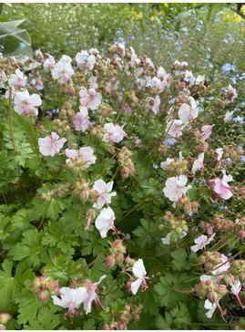Geranium x cantabrigiense 'Hilary Rendall'