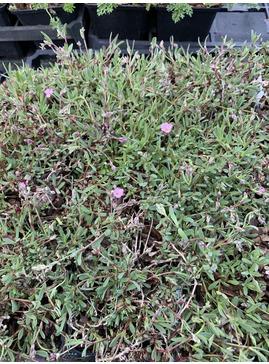 Gypsophila repens seedlings
