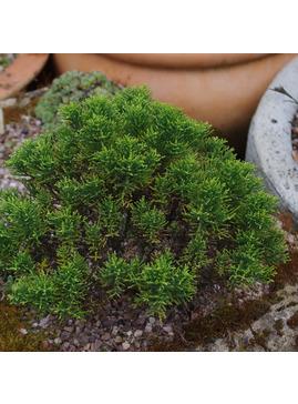 Hebe cupressoides 'Boughton Dome'