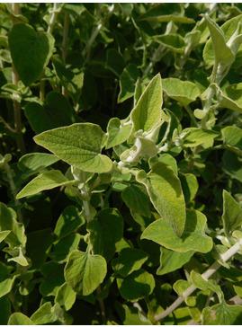 Helichrysum hypoleucum