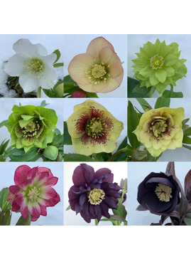 Helleborus Double Flowered 1 Litre