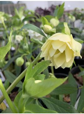 Helleborus x hybridus Double Flowered 2 Litre