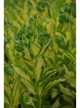 Hylotelephium erythrostictum 'Mediovariegatum'