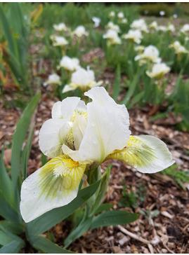Iris 'Green Spot'