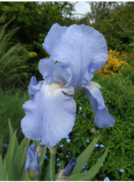 Iris 'Jane Phillips'