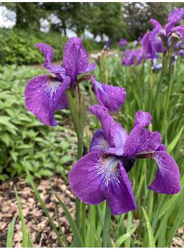 Iris 'Sparkling Rose' (Sib)