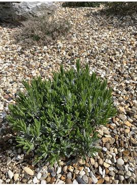 Lavandula angustifolia 'Ashdown Forest'