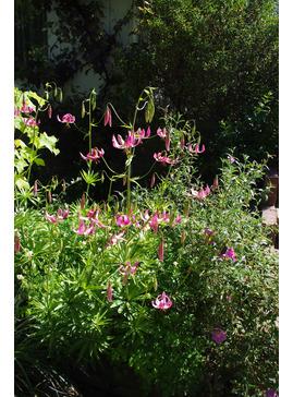 Lilium 'Lake Tulare'