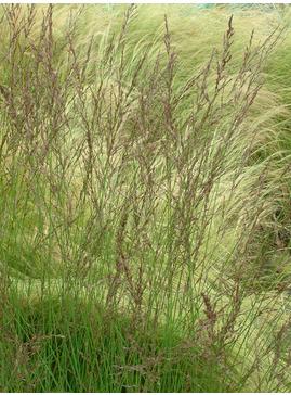Molinia caerulea subsp. caerulea 'Edith Dudszus'