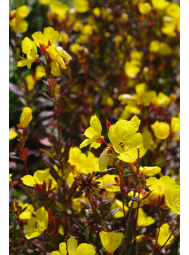 Oenothera glabra