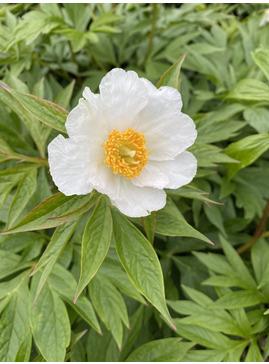 Paeonia 'Late Windflower'