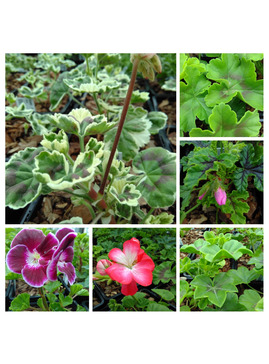 Pelargonium  Collection
