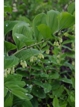 Polygonatum odoratum 'Pruhonice'