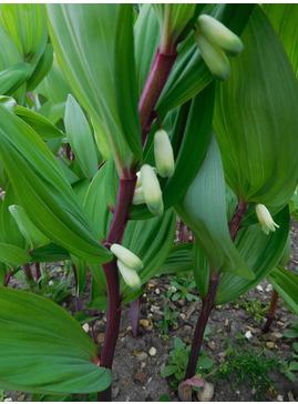 Polygonatum odoratum 'Red Stem'