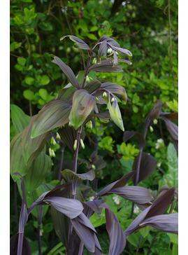 Polygonatum x hybridum 'Betberg'