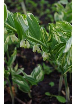 Polygonatum x hybridum 'Striatum'