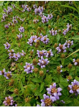 Prunella grandiflora 'Loveliness'