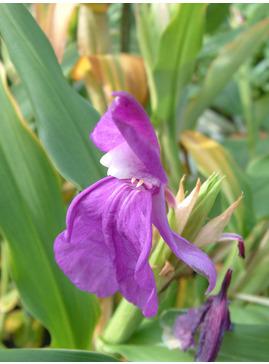 Roscoea humeana purple form