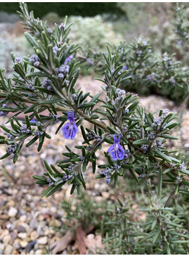 Rosmarinus officinalis 'Blue Lagoon'