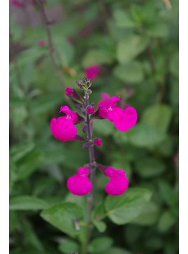 Salvia microphylla 'Wild Watermelon'