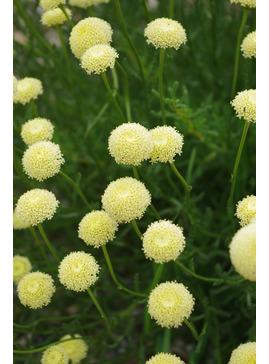 Santolina rosmarinifolia subsp. rosmarinifolia 'Primrose Gem'