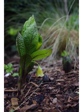 Scopolia carniolica Yellow Form