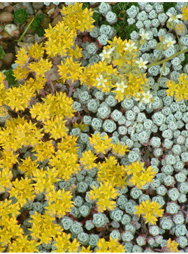 Sedum spathulifolium 'Cape Blanco'