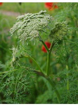Selinum wallichianum (our original form)