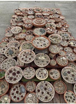 Sempervivum mixed