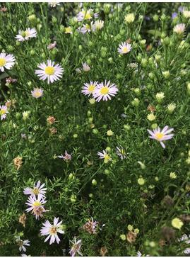 Symphyotrichum ericoides 'Esther'