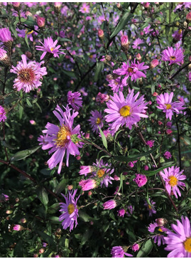 Symphyotrichum laeve 'Glow in the Dark'