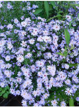 Symphyotrichum 'Little Carlow' (cordifolium hybrid)