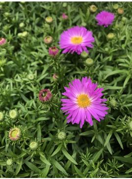 Symphyotrichum novi-belgii 'Heinz Richard'