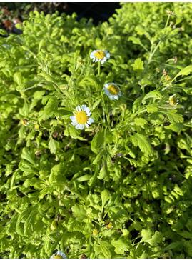 Tanacetum parthenium 'Golden Moss'