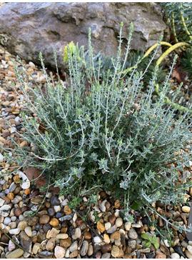 Teucrium marum ex Corsica