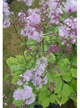 Thalictrum actaeifolium 'Perfume Star'