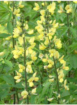 Thermopsis lanceolata