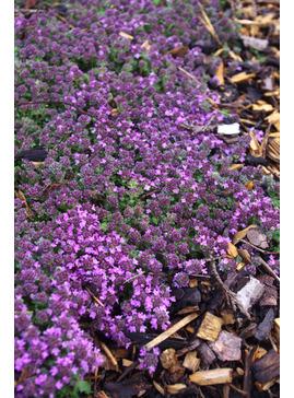 Thymus serpyllum 'Pink Chintz'