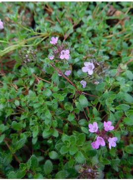 Thymus (Coccineus Group) 'Purple Beauty'