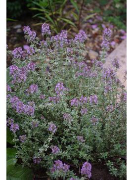 Thymus 'Silver Posie' 9cm