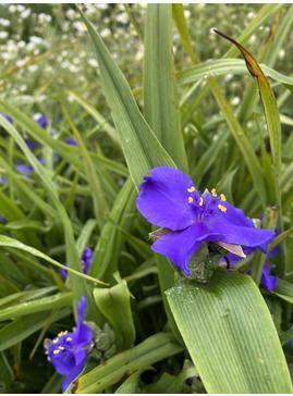 Tradescantia (Andersoniana Group) 'Zwanenburg Blue'