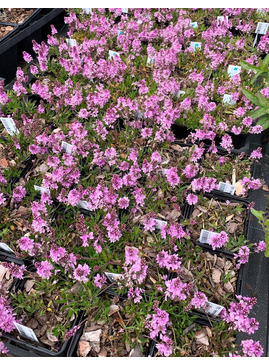 Veronica prostrata 'Lilac Time'