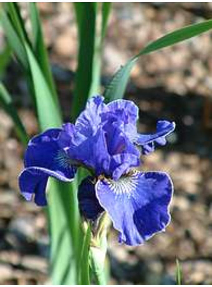 Iris sibirica 'Dear Dianne'