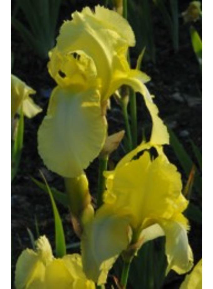 Iris 'Lemon Ice'