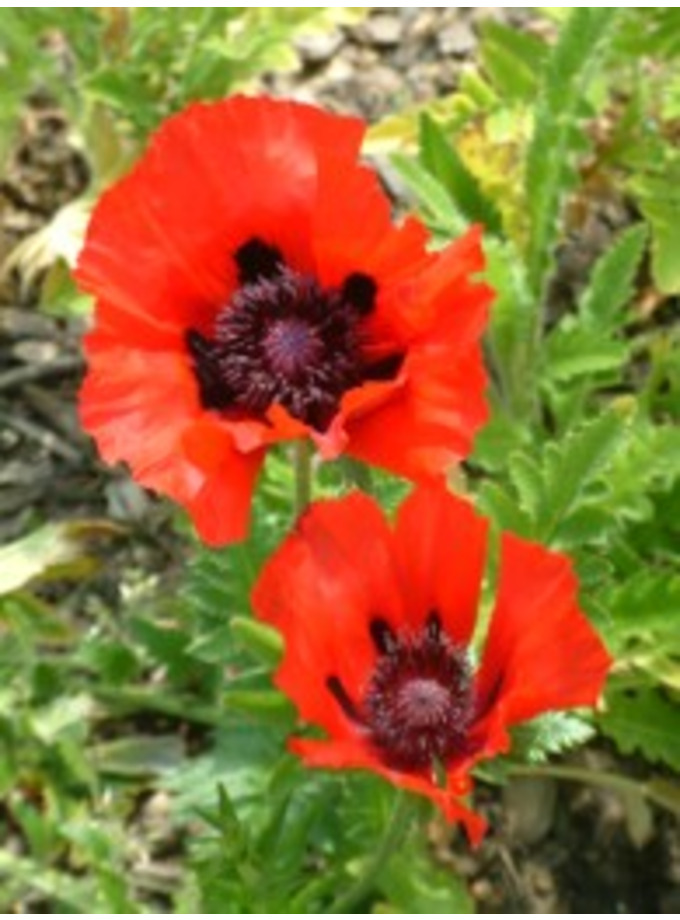 Papaver (Oriental Group) 'Beauty of Livermere'
