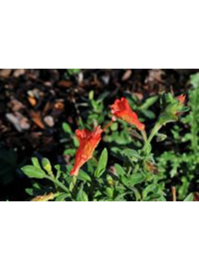 Zauschneria californica 'Ed Carman'