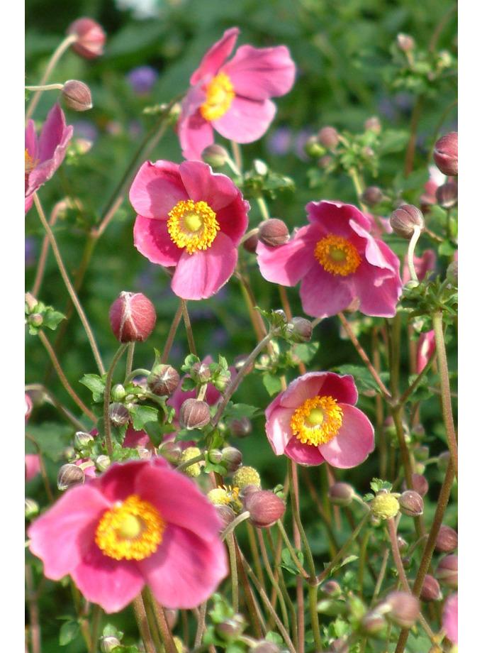 Anemone hupehensis 'Hadspen Abundance'
