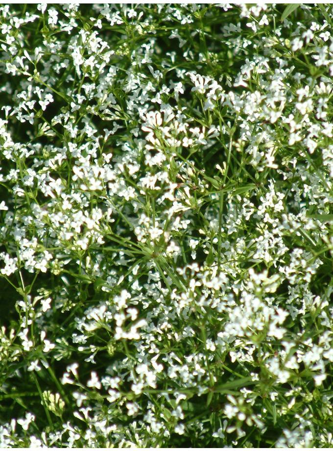 Asperula aristata subsp. scabra