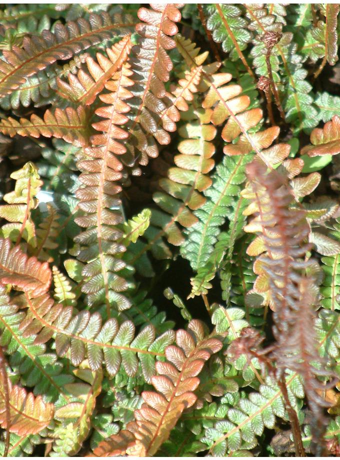 Blechnum penna-marina subsp. alpinum Paradise Form