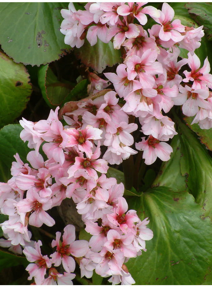 Bergenia 'Biedermeir'